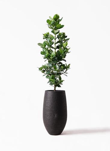 観葉植物 クルシア ロゼア プリンセス 8号 フォンティーヌトール 黒 付き