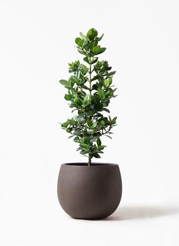 観葉植物 クルシア ロゼア プリンセス 8号 テラニアス ローバルーン アンティークブラウン 付き