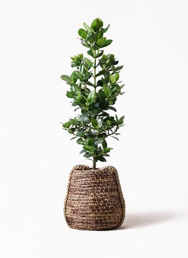 観葉植物 クルシア ロゼア プリンセス 8号 リゲル 茶 付き
