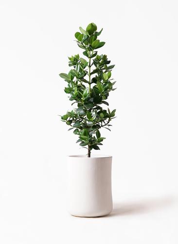 観葉植物 クルシア ロゼア プリンセス 8号 バスク ミドル ホワイト 付き