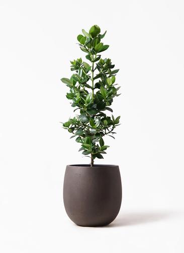 観葉植物 クルシア ロゼア プリンセス 8号 テラニアス バルーン アンティークブラウン 付き