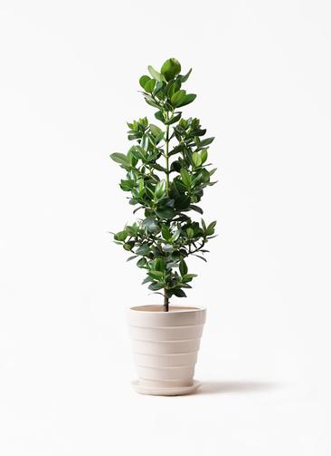 観葉植物 クルシア ロゼア プリンセス 8号 サバトリア 白 付き