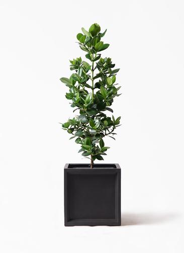 観葉植物 クルシア ロゼア プリンセス 8号 ブリティッシュキューブ 付き