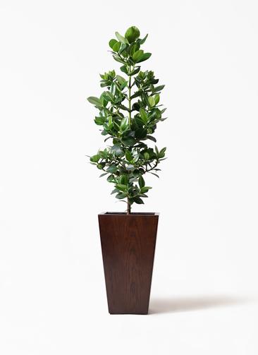 観葉植物 クルシア ロゼア プリンセス 8号 MOKU スクエア 付き