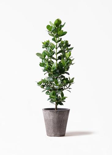 観葉植物 クルシア ロゼア プリンセス 8号 フォリオソリッド ブラックウォッシュ 付き