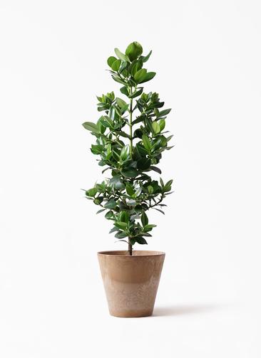 観葉植物 クルシア ロゼア プリンセス 8号 アートストーン ラウンド ベージュ 付き