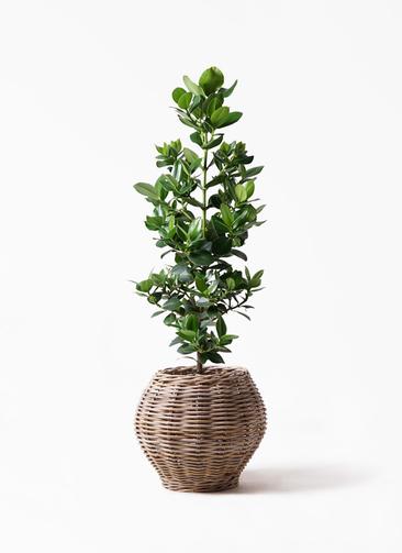 観葉植物 クルシア ロゼア プリンセス 8号 グレイラタン 付き
