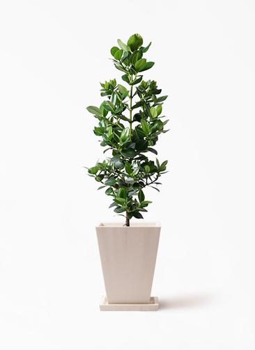 観葉植物 クルシア ロゼア プリンセス 8号 パウダーストーン 白 付き