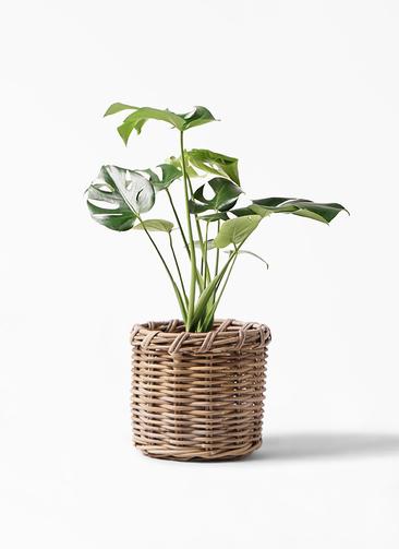 観葉植物 モンステラ 6号 ボサ造り グレイラタン 付き