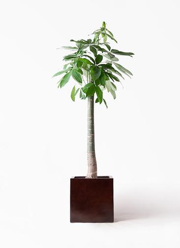 観葉植物 パキラ 10号 朴 MOKU キューブ 付き