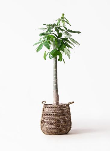 観葉植物 パキラ 10号 朴 リゲル 茶 付き