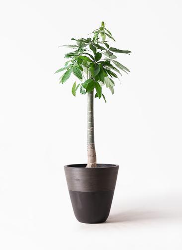 観葉植物 パキラ 10号 朴 ジュピター 黒 付き