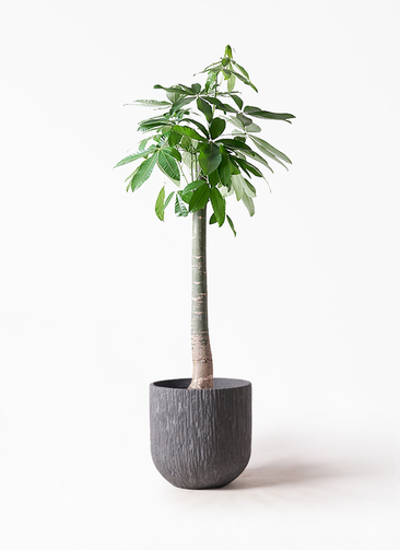 観葉植物 パキラ 10号 朴 カルディナダークグレイ 付き