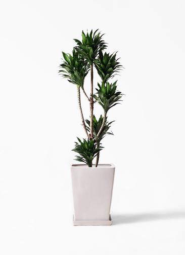観葉植物 ドラセナ コンパクター 8号 LO スクエア 付き