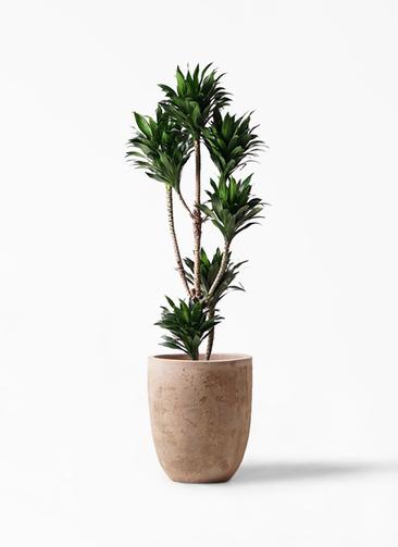 観葉植物 ドラセナ コンパクター 8号 ルーガ アンティコ アルトエッグ 付き