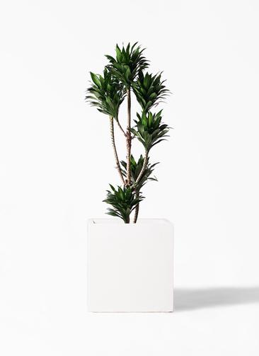 観葉植物 ドラセナ コンパクター 8号 バスク キューブ 付き