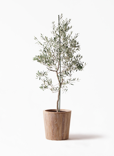 観葉植物 オリーブの木 10号 バルネア ウッドプランター 付き