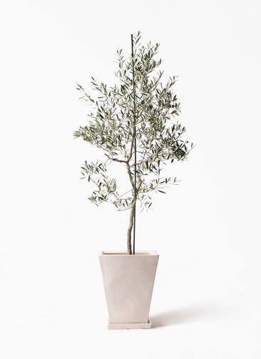 観葉植物 オリーブの木 10号 バルネア スクエアハット 白 付き