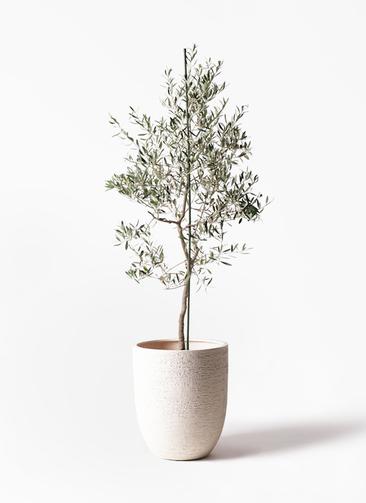 観葉植物 オリーブの木 10号 バルネア ビアスアルトエッグ 白 付き