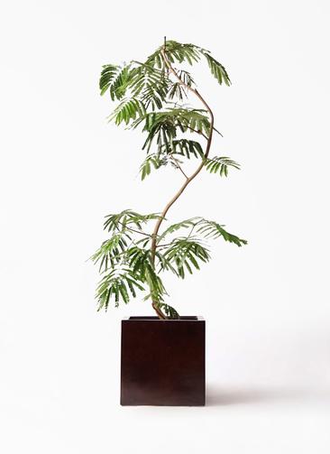 観葉植物 エバーフレッシュ 10号 曲り MOKU キューブ