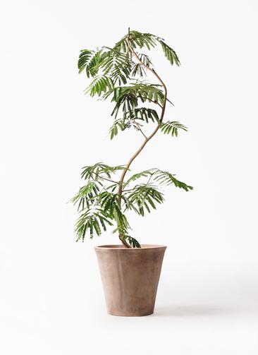 観葉植物 エバーフレッシュ 10号 曲り ルーガ アンティコ ソリッド