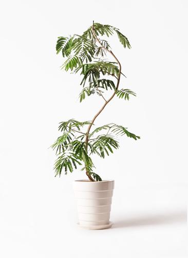 観葉植物 エバーフレッシュ 10号 曲り サバトリア 白