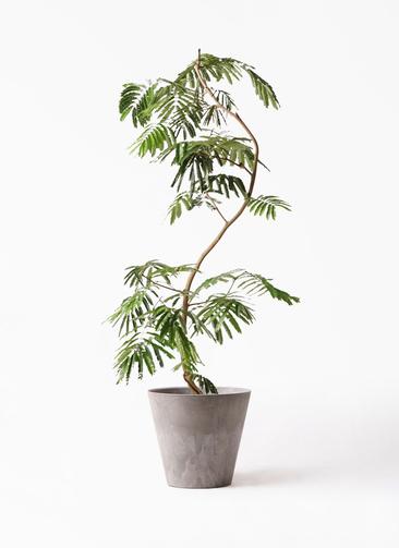 観葉植物 エバーフレッシュ 10号 曲り アートストーン ラウンド グレー