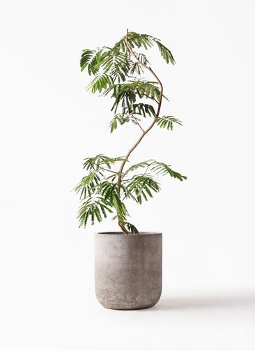 観葉植物 エバーフレッシュ 10号 曲り エルバ 白