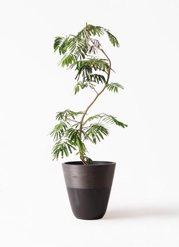 観葉植物 エバーフレッシュ 10号 曲り ジュピター 黒