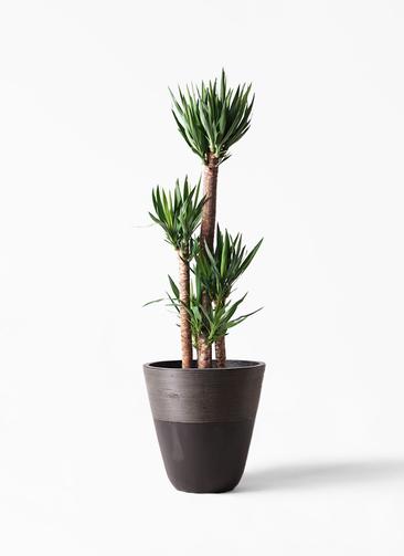 観葉植物 ユッカ 10号 ノーマル ジュピター 黒 付き