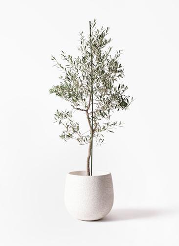 観葉植物 オリーブの木 10号 バルネア エコストーンwhite 付き