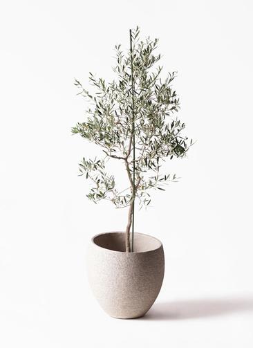 観葉植物 オリーブの木 10号 バルネア エコストーンLight Gray 付き