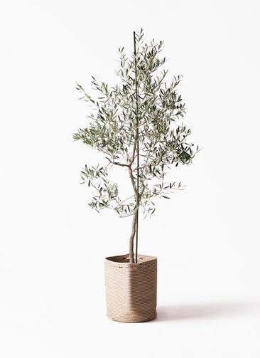 観葉植物 オリーブの木 10号 バルネア リブバスケットNatural 付き