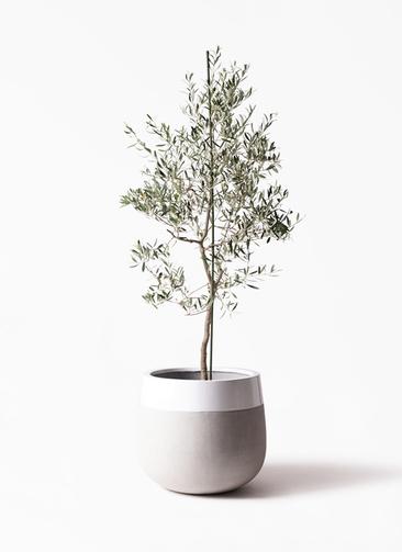 観葉植物 オリーブの木 10号 バルネア ファイバーストーンタウルス ミドル 白 付き