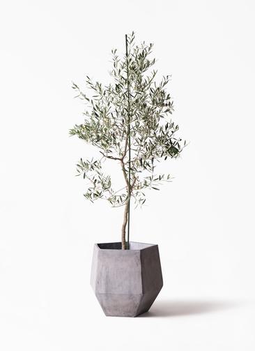 観葉植物 オリーブの木 10号 バルネア ファイバークレイGray 付き