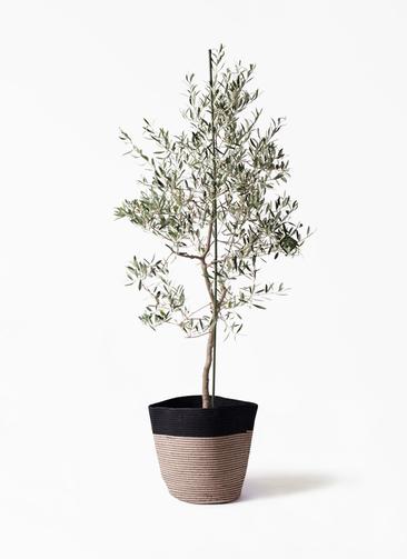 観葉植物 オリーブの木 10号 バルネア リブバスケットNatural and Black 付き