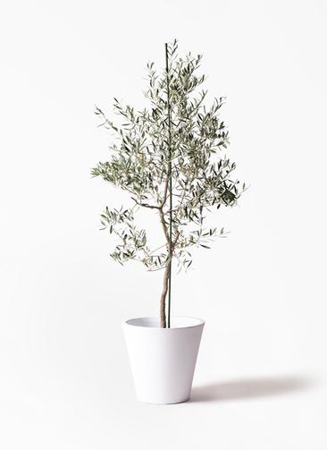 観葉植物 オリーブの木 10号 バルネア フォリオソリッド 白 付き