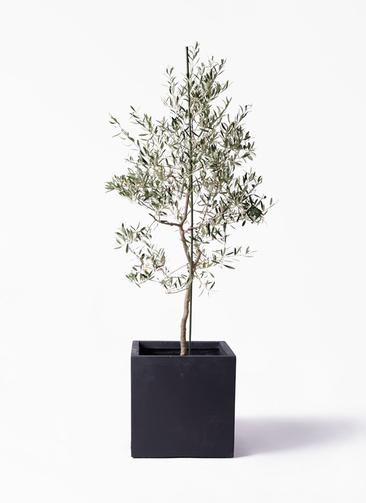 観葉植物 オリーブの木 10号 バルネア ベータ キューブプランター 黒 付き