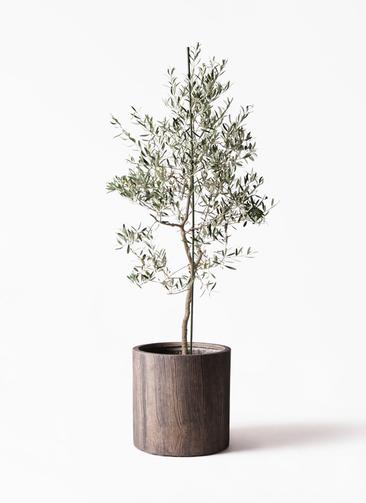 観葉植物 オリーブの木 10号 バルネア アルファシリンダープランター 付き