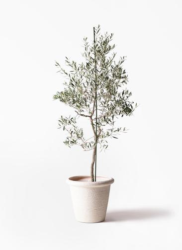 観葉植物 オリーブの木 10号 バルネア ビアスリムス 白 付き