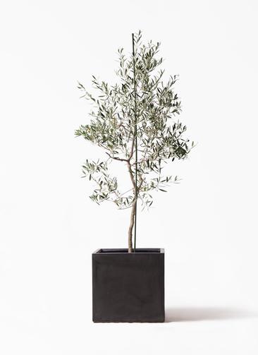 観葉植物 オリーブの木 10号 バルネア ファイバークレイ キューブ 付き