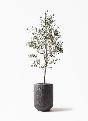 観葉植物 オリーブの木 10号 バルネア カルディナトールダークグレイ 付き