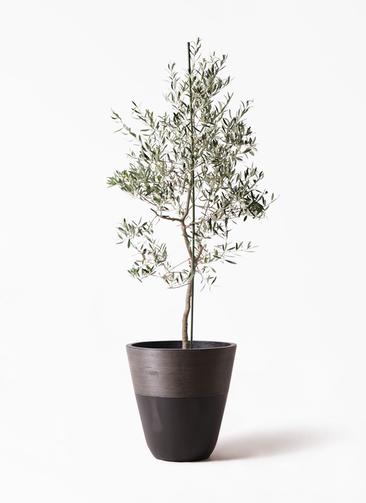 観葉植物 オリーブの木 10号 バルネア ジュピター 黒 付き