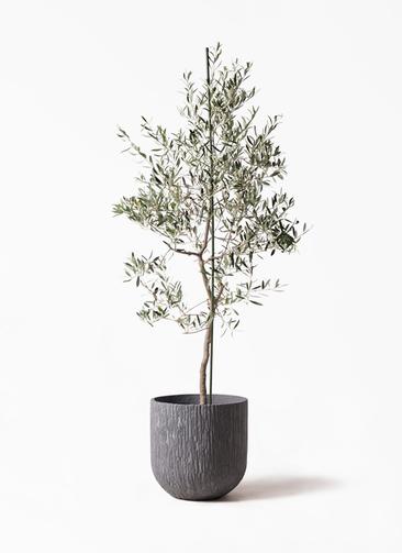 観葉植物 オリーブの木 10号 バルネア カルディナダークグレイ 付き