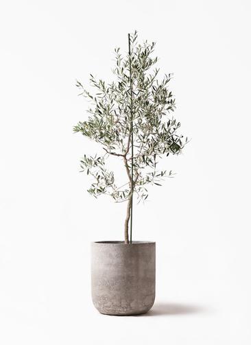観葉植物 オリーブの木 10号 バルネア エルバ 白 付き