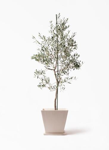 観葉植物 オリーブの木 10号 バルネア パウダーストーン 白 付き