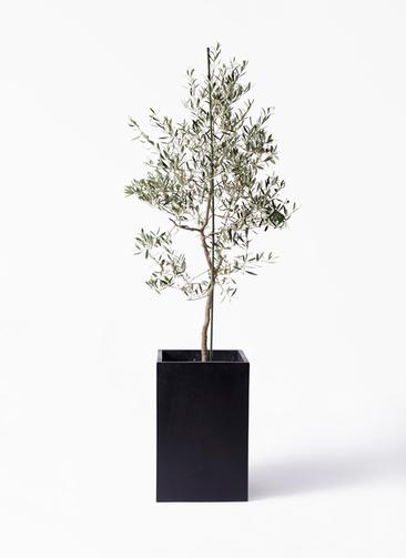 観葉植物 オリーブの木 10号 バルネア セドナロング 墨 付き