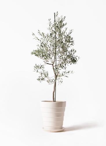 観葉植物 オリーブの木 10号 バルネア サバトリア 白 付き