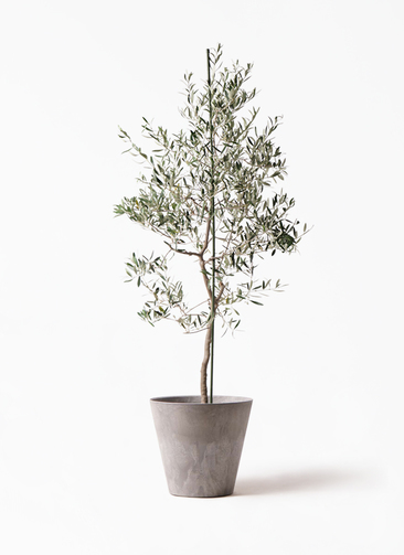 観葉植物 オリーブの木 10号 バルネア アートストーン ラウンド グレー 付き