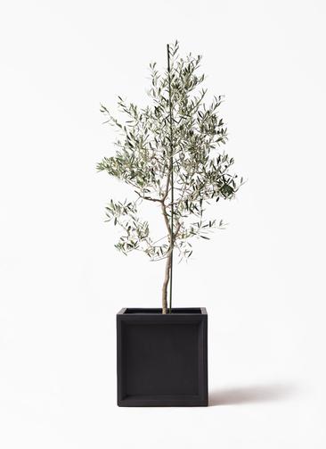 観葉植物 オリーブの木 10号 バルネア ブリティッシュキューブ 付き